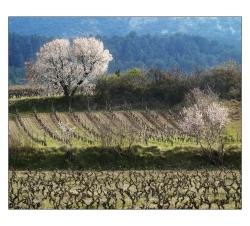 amandier-fleur-massif-alaric-nar-012