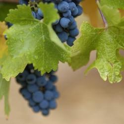 Vigne-et-vin-DSC_1191