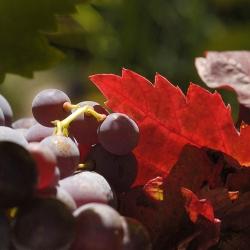 Vigne-et-vin-DSC_1301