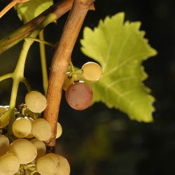Vigne-et-vin-DSC_1311