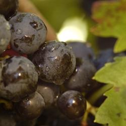 Vigne-et-vin-DSC_1341