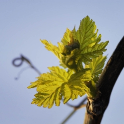 Vigne-et-vin-DSC_8451