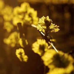 Vigne-et-vin-DSC_8476