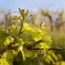Vigne-et-vin-DSC_9014